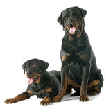 Young rottweiler Royalty Free Stock Photo