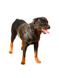 Young Rottweiler isolated on white background Royalty Free Stock Photos