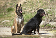 Young rottweiler and malinois. Portrait of a purebred rottweiler and malinois near in a river Royalty Free Stock Photos