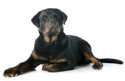 Young rottweiler. Portrait of a purebred puppy rottweiler, 6 mont old, in front of white background Stock Photo