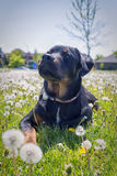 Young rottweiler pup sitting on grass field Royalty Free Stock Photography