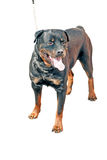 Young Rottweiler on white Stock Photography