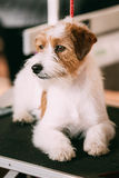 Young Rough Coated Jack Russell Terrier Dog Stock Images