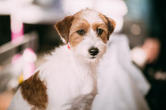 Young Rough Coated Jack Russell Terrier Dog. Small terrier Royalty Free Stock Photos