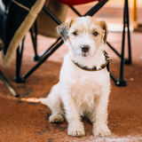 Young Rough Coated Jack Russell Terrier Dog. Small terrier Stock Photography