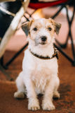 Young Rough Coated Jack Russell Terrier Dog. Small terrier Royalty Free Stock Images