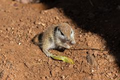 Young Round-tailed ground squirrel sitting on haunches, chewing on a small brown twig. Young Round-tailed ground squirrel xerospemuphilus tereticaudus, sitting stock images