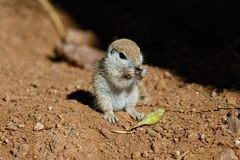 Young Round-tailed ground squirrel sitting on haunches, eating a brown piece of a local plant. Young Round-tailed ground squirrel xerospemuphilus tereticaudus stock photo