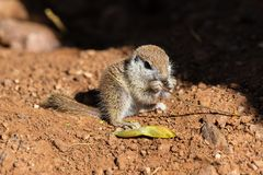 Young Round-tailed ground squirrel sitting on haunches, eating a brown piece of a local plant. Young Round-tailed ground squirrel xerospemuphilus tereticaudus stock photos