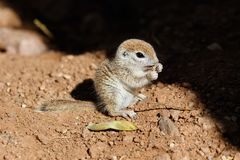 Young Round-tailed ground squirrel sitting on haunches, feeding on green leaf. Young Round-tailed ground squirrel xerospemuphilus tereticaudus, sitting on it`s stock images