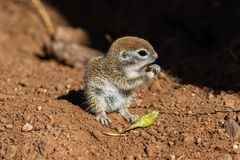 Young Round-tailed ground squirrel sitting on haunches, eating a brown piece of a local plant. Young Round-tailed ground squirrel xerospemuphilus tereticaudus stock image