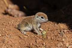 Young Round-tailed ground squirrel sitting on haunches, eating a brown piece of a local plant. Young Round-tailed ground squirrel xerospemuphilus tereticaudus stock photography