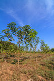 Young rubber tree against blue sky Stock Photo