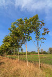 Young rubber trees Stock Images