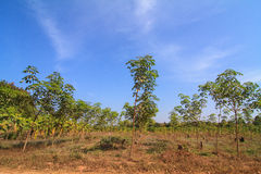 Young rubber trees Stock Photo