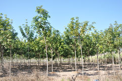 Young Rubber trees plantation Stock Photo