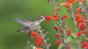 Young Ruby-throated Hummingbird pollinating red Sage. stock photography