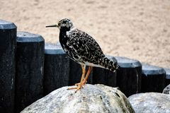 Young ruff on a stone. Photo of a young ruff standing on a stone Royalty Free Stock Photos