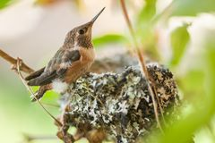 Leaving the Nest. A young rufous hummingbird fletchling on the brim of the tiny nest constructed of mainly lichen stock photography