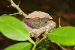 Young rufous-tailed hummingbird in nest. Panama, Central America stock photos