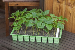 Young runner bean plants in seed pots with shed background. Stock Photography