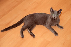 Young russian blue cat Stock Image