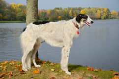 Young russian borzoi Royalty Free Stock Image