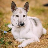 Young Russian Laika Puppy Dog Sitting On Dry Grass Stock Photography