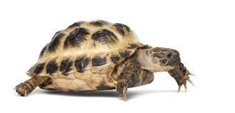 Young Russian tortoise, Horsfield's tortoise Royalty Free Stock Photo