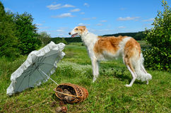 Young russian wolfhound Stock Images