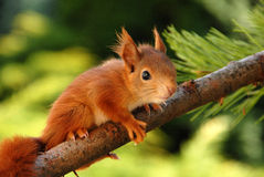 Young rusty-coloured squirrel Royalty Free Stock Photos
