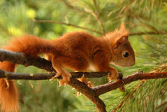 Young rusty-coloured squirrel Stock Photos