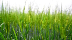 Young rye ears close up. The Young rye ears close up stock video footage