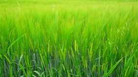 Young rye ears close up. The Young rye ears close up stock footage