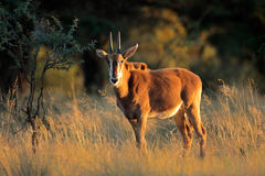 Young sable antelope Stock Image