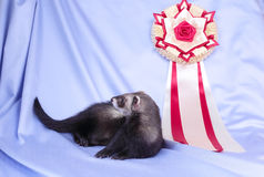 Young sable ferret with award Royalty Free Stock Photos