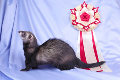Young sable ferret with award Stock Photography