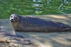 Young sad seal Royalty Free Stock Photography