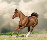 Young saddle horse. In running gallop royalty free stock image