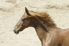 Young Saddlebred horse royalty free stock photos