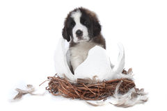 Young Saint Bernard Puppy on White Background Stock Image