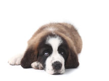 Young Saint Bernard Puppy on White Background Royalty Free Stock Photography