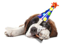 Young Saint Bernard Puppy on White Background. Saint Bernard Puppy Who Partied too Hard Smoking Stock Image