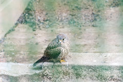 Young saker falcon Falco cherrug Stock Images