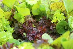 Young salad lettuce Stock Image