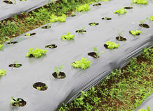 Young salad lettuce growing Royalty Free Stock Photo