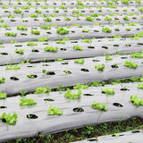Young salad lettuce growing outdoors Royalty Free Stock Photo