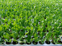 Young salad plant seedlings Stock Image