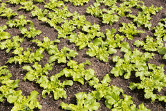 Young salad plants in a field Royalty Free Stock Image