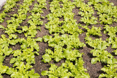Young salad plants in a field Stock Image